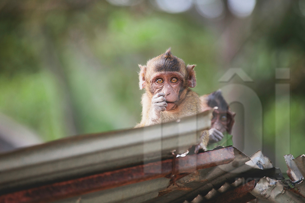 Monkeys in Hua Hin, Prachuap Khiri Khan Province, Thailand, Southeast Asia