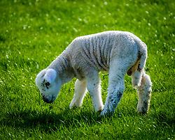 Portrait of a young lamb in the Scottish borders<br /> <br /> (c) Andrew Wilson | Edinburgh Elite media