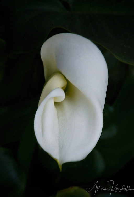 The spiral folds of a calla lily flower curve gracefully inward against a black background