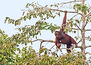 Adult male Bornean orangutan (Pongo pygmaeus) feeding on figs in the top of a tree at Kinabatangan River, Sabah, Borneo.