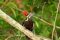 Pileated Woodpecker (Dryocopus pileatus), Arthur J Marshall National Wildlife Reserve - Loxahatchee, Florida, USA.    Photo: Peter Llewellyn