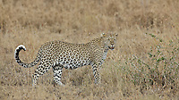 Leopard (Panthera pardus) back on the hunt just after finishing his last kill, Serengeti