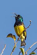 Male Variable Sunbird singing, Seldomseen, Bvumba, Manucaland Province, Zimbabwe