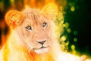 Digitally enhanced image of a lioness Masai Mara, Kenya