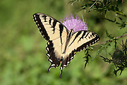 Eastern Tiger Swallowtail; Papilio glaucus; nectaring on thistle; PA, Philadelphia, Schuylkill Center