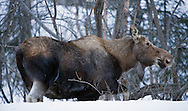 Cow moose feeding on twigs in mid-winter at Hatcher Pass in Southcentral Alaska. Winter. Morning.
