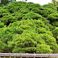 300-Year Pine at Hama-rikyu Gardens in Tokyo, Japan<br /> The cube-shaped Hama-rikyu Gardens are defined on three sides by water: Shidome River, Tokyo Bay and Tsukiji River. Within its serene 62 acres are a peony garden and a flower garden. They are especially beautiful in springtime during the cherry blossom season. Anchoring them is the 300-year Pine. The black pine was planted in 1709 and survived the 1923 Great Kantō Earthquake (7.9 on the Richter scale), the firebombing air raids during WWII and the extensive urban development nearby.