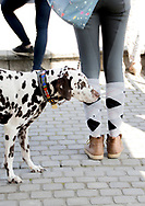 Dalmatiner dog, with colorful collar, standing in the sun behind the owner, that is wearing checkered stocking and grey riding trouser.