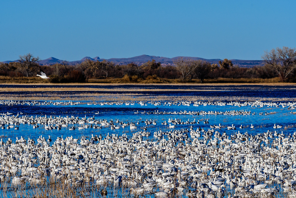 Snow Geese [Chen caerulescens], Ross's Goose [Chen rossii] in wetland lake, an afternoon feeding area; Bosque del Apache NWR., NM