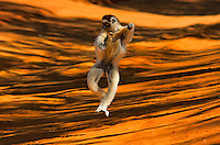 Verreaux's sifaka hopping, Propithecus verreauxi, Berenty Reserve, Madagascar Verreaux's Sifaka (Propithecus verreauxi), adult jumping, Berenty Private Reserve, Madagascar. Image by Andres Morya <br />