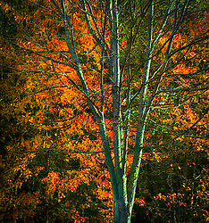 autumn in Silverdale,, WA, orange and red leaves fill the branches behind another bare branched tree. digital painting
