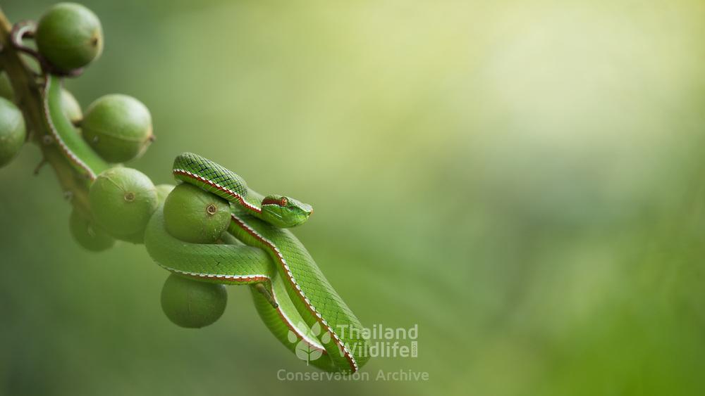 Gumprecht's Pit Viper (Trimeresurus gumprechti) male in Phu Hin Rong Kla national park, Thailand