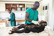 Ngamba's veterinarian, Dr Joshua Rukundo, examines female infant, Sara, after care givers noticed she had pox in her mouth that needed to be treated. Sara, who has been on Ngamba Island since 2012, is a little chimp with a clear face. She was confiscated from a trader in Southern Sudan. At the time of her arrival, she was in a bad condition. Her eyes were puffy due to dehydration and she had a big hard stomach with no hair on it.<br /> She pretty much wants to own everything, she screams until she is given what she wants including sticks and all other small enrichment materials. When she is scared, Sara runs to her surrogate mother, Connie. She likes riding on Connie&rsquo;s back. 03/15 Julia Cumes/IFAW