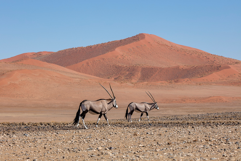 Orynx in Namib desert, Namibia
