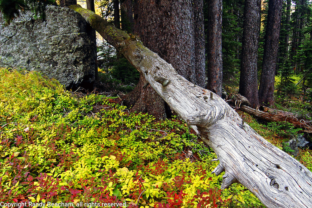 High elevation englemann spruce forest in fall. Northwest Peak Scenic Area, Purcell Mountains, northwest Montana.