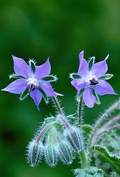 Borago officinalis - Borage, Star flower