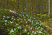 A carpet of  large flowered trillium (Trillium grandiflorum). <br />Six Mile Lake Provincial Park<br />Ontario<br />Canada