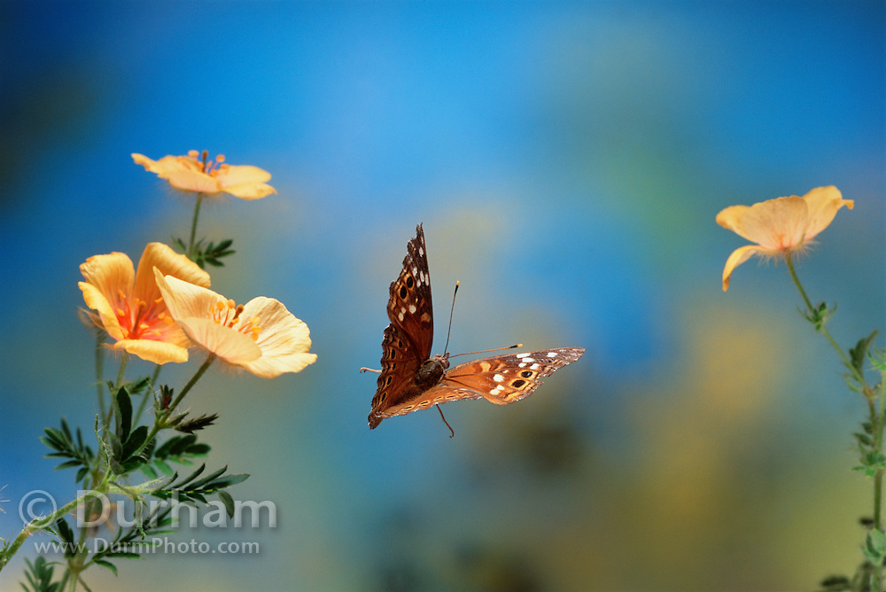 An empress leila butterfly (Asterocampa leilia) in flight over poppies in Madera Canyon, Arizona.