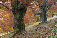 Old beech trees in autumn (Fagus spec.), Piatra Craiului National Park, Transylvania, Southern Carpathians, Romania