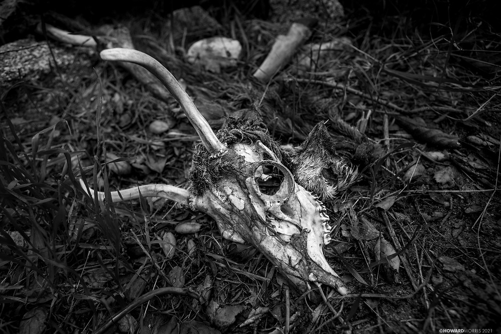 The remains of a deer killed weeks before by a mountain lion. Altadena, California