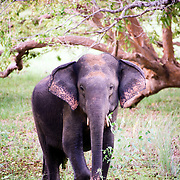 "Young elephant in the Willpatu National Park.The unique feature of this park is the existence of ""Willus"" (Natural lakes) - Natural, sand-rimmed water basins or depressions that fill with rainwater. Located in the Northwest coast lowland dry zone of Sri Lanka. The park is located 30 km west Anuradhapura. The park is 131, 693 hectares and ranges from 0 to 152 meters above sea level. Nearly sixty lakes (Willu) and tanks are found spread throughout Wilpattu. Wilpattu is the largest and one of the oldest National Parks in Sri Lanka. Wilpattu is among the top national parks world renowned for its leopard (Panthera pardus kotiya) population."