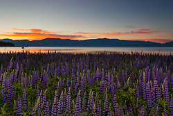"""Tahoe Lupine at Sunrise 1"" - These Lupine wildflowers and sunrise were photographed at Lake Forest Beach, Lake Tahoe."