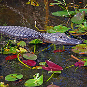 American Alligator swimming with water lillies, Everglades National Park, Florida
