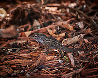Cuban Anole Lizard. Image taken with a Nikon 1 V3 camera and 70-300 mm VR lens