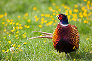 Male cock pheasant, Phasianus colchicus, in meadow in The Cotswolds at Swinbrook, Oxfordshire, UK