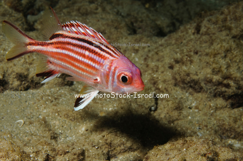 Redcoat - Sargocentron rubrum - Found in coastal reefs or wrecks in lagoons, bays, or harbors. Spine of preopercle venomous Photographed in the Mediterranean Coast Israel