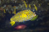 Yellow boxfish-Poisson-coffre jaune (Ostracion cubicus), indian ocean, South Africa.