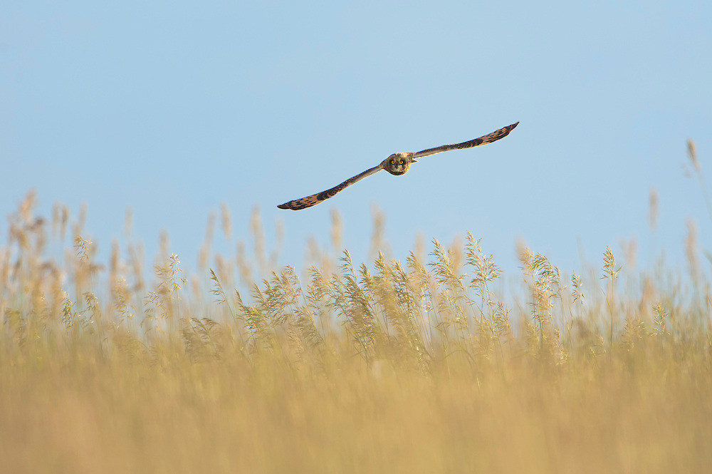 Short-eared Owl flying over its grassland habitat, Western Montana