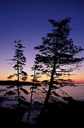 Acadia N.P., ME. Black Spruce, Picea mariana. Sunrise.  Silhouette.
