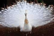 White Peacock with spread tail