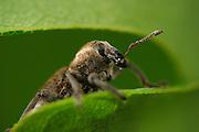 Weevil (Hypera pedestris), Burgwald, Gearmany | Rüsselkäfer  der Art Hypera pedestris