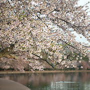Washington DC's famous cherry blossoms several days after the peak bloom in 2015.