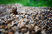 Small toad climbing the mountain of pebbles