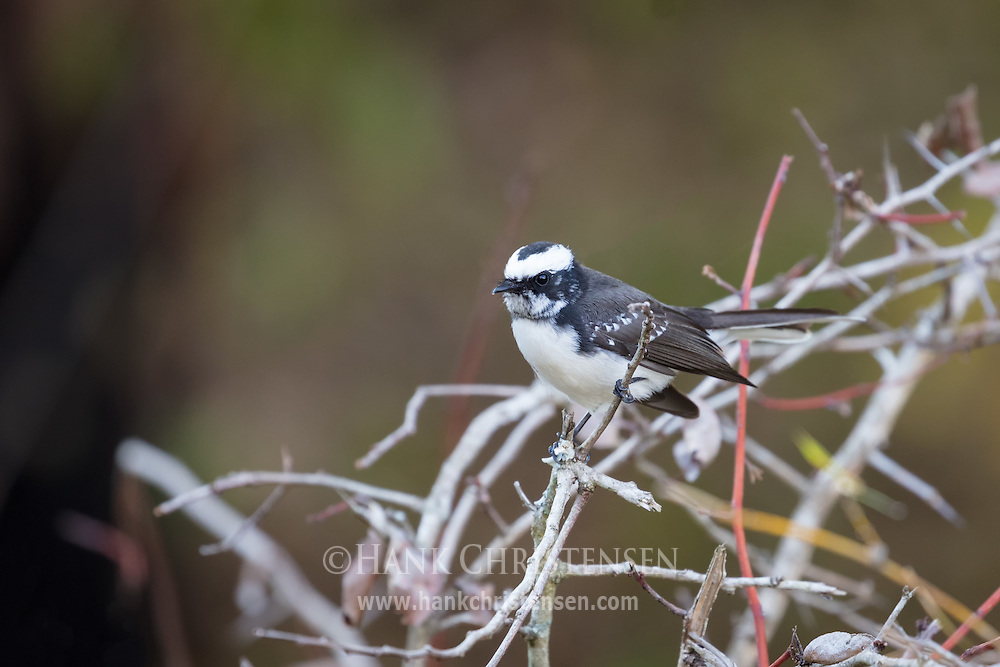 A white-browed fantail perches on a small twig, Mudumalai National Park, India.
