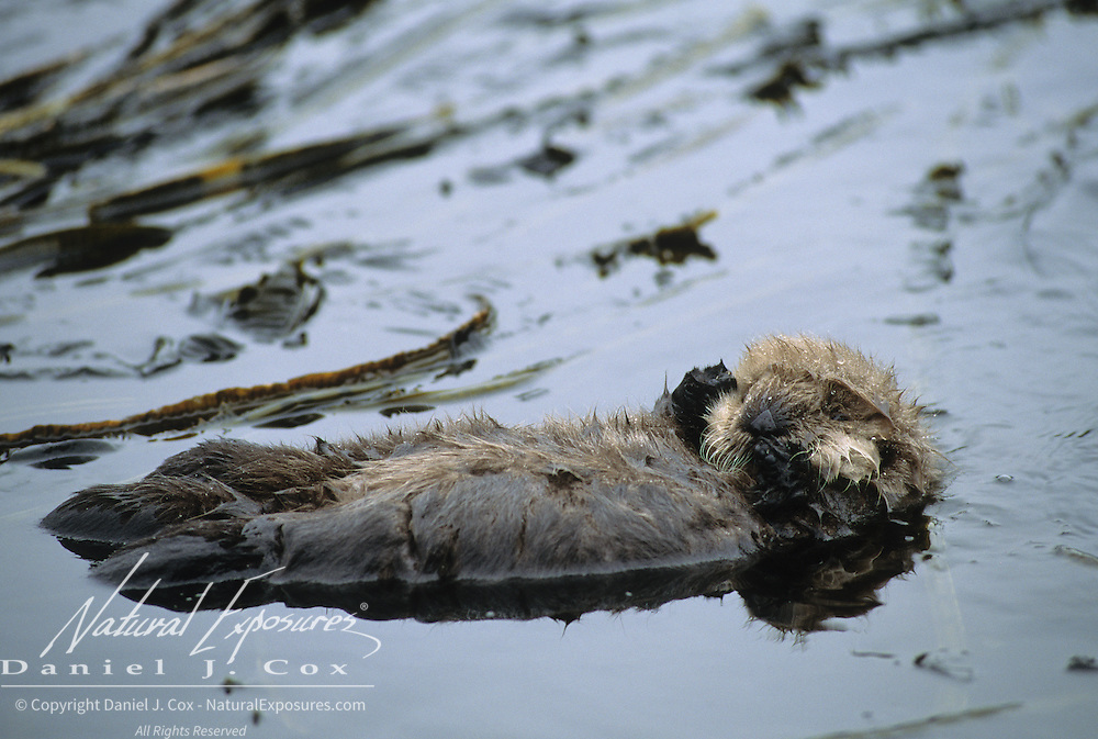 Sea Otter mother grooming while her baby sleeps in a kelp bed in southwest Alaska.