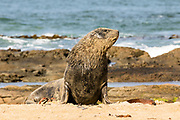 Hooker's Sea Lion, Waipapa Point, Catlins, New Zealand