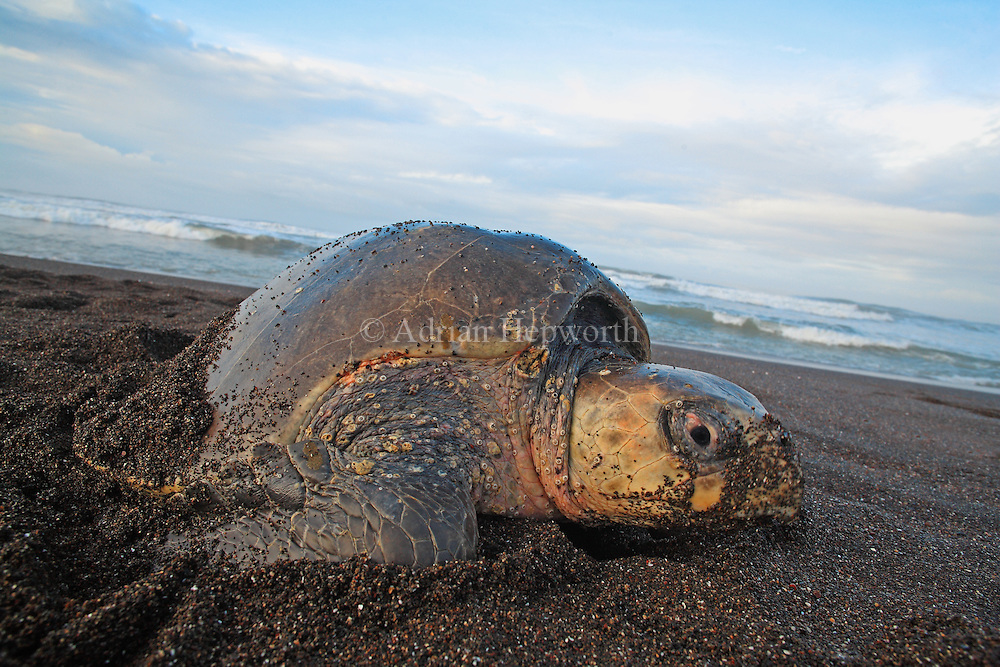 Female Olive Ridley Turtle (Lepidochelys olivacea) laying eggs in nest during arribada. Ostional Beach, Guanacaste, Costa Rica. <br />