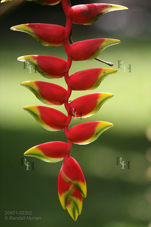 Pendulous red and green bracts of Lobster claw (Heliconia rostrata) create colorful hanging ornament at La Quinta de Sarapiqui Country Inn, Costa Rica.