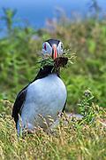 Atlantic Puffin -  Fratercula arctica carring nesting material in its beak