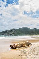 Leão marinho em decomposição na Praia da Lagoinha do Leste. Florianópolis, Santa Catarina, Brasil. / Rotting remains of a deceased sea lion at Lagoinha do Leste Beach. Florianopolis, santa Catarina, Brazil.