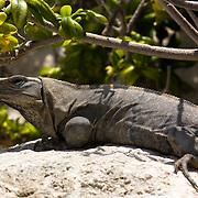Iguana taking sun, Cancun, Mexico.