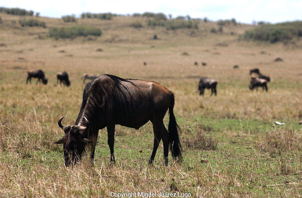A herd of wildebeest, also know as gnu, graze in the Maasai Mara National Park, Kenya. (PHOTO: MIGUEL JUAREZ LUGO)
