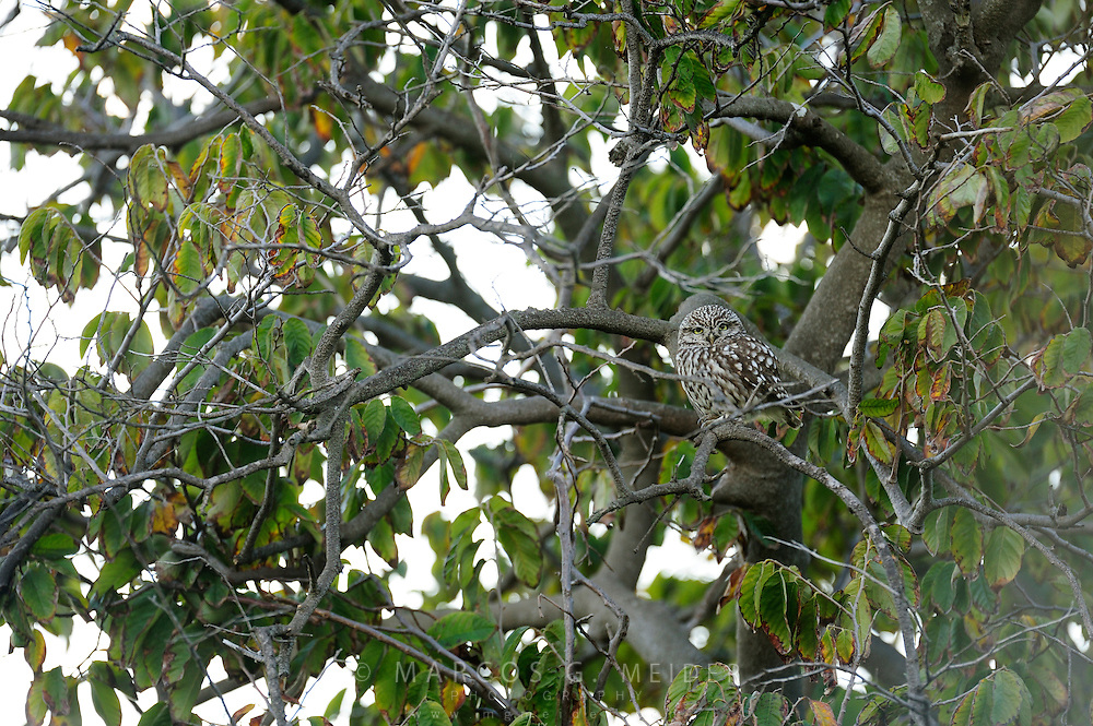 EN. Little owl (Athene noctua) perched on tree. Malaga, Andalucia, Spain.<br /> ES. Mochuelo com&uacute;n (Athene noctua) posado sobre &aacute;rbol. M&aacute;laga, Andaluc&iacute;a, Espa&ntilde;a.