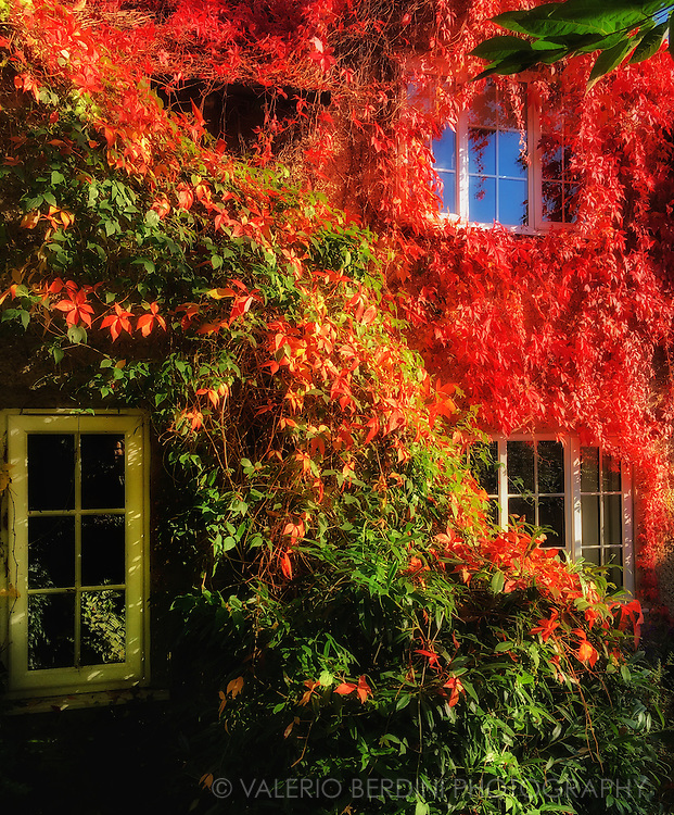 A cottage in the countryside of Grantchester Meadows just outside Cambridge, covered in red and green foliage of ivy plants, in an autumn sunny day.
