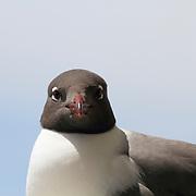 Laughing Gull, Leucophaeus atricilla, staring
