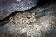 A western toad (Bufo boreas) near camp creek in The Nature Conservancy's Zumwalt Prairie Preserve, Oregon.